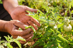 Insecto del milpiés de Tomato Field Showing del granjero del hombre en la hoja Foto de archivo