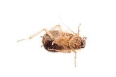 Insecto del parásito de la cucaracha del insecto Fotos de archivo libres de regalías