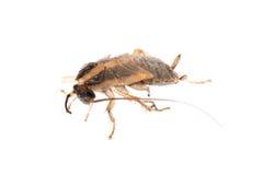 Insecto del parásito de la cucaracha del insecto Imagen de archivo libre de regalías