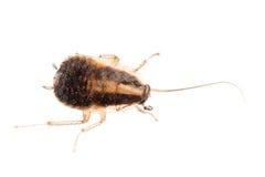 Insecto del parásito de la cucaracha del insecto Fotografía de archivo