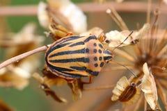 Insecto del semipunctatum de Graphosoma Fotografía de archivo