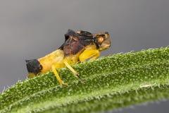 Insecto dentado de la emboscada encaramado en una hoja imagenes de archivo