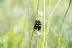Insecto dos en amor Fotos de archivo