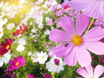 Insecto en el campo de flores del cosmos colurful Fotos de archivo libres de regalías