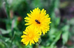 Insecto en el diente de león en primavera, insecto en la flor Foto de archivo libre de regalías