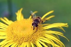 Insecto en el flor amarillo fotos de archivo libres de regalías