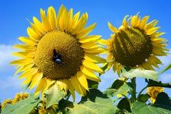 Insecto en el girasol Foto de archivo libre de regalías