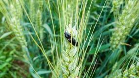 Insecto en el maíz-oído Foto de archivo libre de regalías