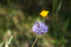 Insecto en el pedazo del ` s de las ovejas escabioso Fotografía de archivo