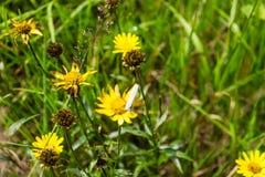 Insecto en la flor amarilla Foto de archivo