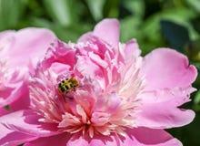 Insecto en la flor 1 de la peonía Fotos de archivo libres de regalías