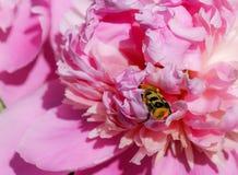 Insecto en la flor 2 de la peonía Imagen de archivo libre de regalías