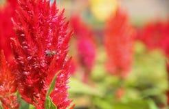 Insecto en la flor roja Foto de archivo libre de regalías