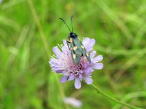Insecto en la flor rosada, Lituania Fotos de archivo