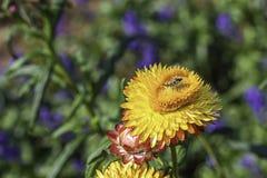 Insecto en las flores amarillas o bracteatum del Helichrysum en jardín imagen de archivo libre de regalías