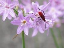 Insecto en las flores violetas Imágenes de archivo libres de regalías