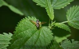 Insecto en las hojas de la ortiga Imagenes de archivo