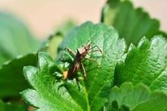 Insecto en las hojas de las fresas Imágenes de archivo libres de regalías
