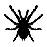 Insecto en lupa Smithi de Brachypelma, hembra de la araña Bosquejo de la araña diseño de la tarántula para el libro de colorear V Foto de archivo
