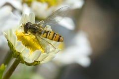 Insecto en margarita imagenes de archivo