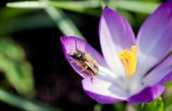 Insecto en polen Foto de archivo