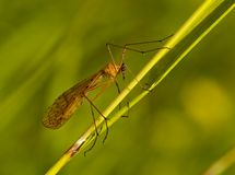 Insecto en un tallo de la hierba Foto de archivo