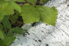 Insecto en un tronco del abedul Foto de archivo