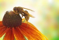 Insecto en una flor Fotos de archivo libres de regalías
