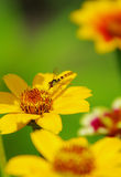 Insecto en una flor amarilla Fotos de archivo