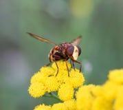Insecto en una flor amarilla Imagen de archivo libre de regalías
