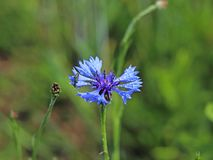 Insecto en una flor de Knapweeds en el sol Una flor azul en gotitas del rocío en un fondo verde borroso Plantas de los prados de Imágenes de archivo libres de regalías