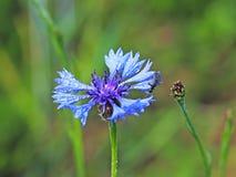 Insecto en una flor de Knapweeds en el sol Una flor azul en gotitas del rocío en un fondo verde borroso Plantas de los prados de Fotos de archivo