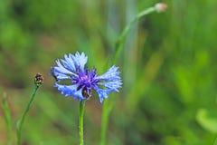 Insecto en una flor de Knapweeds en el sol Una flor azul en gotitas del rocío en un fondo verde borroso Plantas de los prados de Foto de archivo libre de regalías