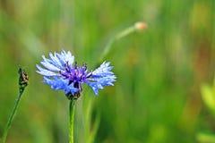 Insecto en una flor de Knapweeds en el sol Una flor azul en gotitas del rocío en un fondo verde borroso Plantas de los prados de Imagen de archivo libre de regalías
