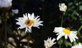 Insecto en una flor de la manzanilla Imagen de archivo libre de regalías