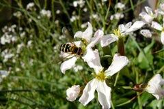 Insecto en una flor horizontalmente Foto de archivo libre de regalías