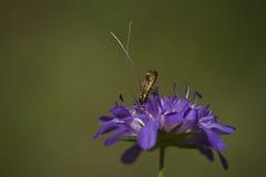 Insecto en una flor púrpura Imagen de archivo