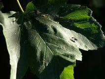 Insecto en una hoja Foto de archivo libre de regalías
