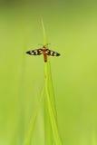 Insecto en una lámina de la hierba fotos de archivo libres de regalías