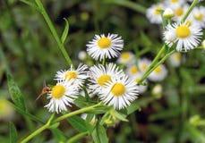 Insecto en una manzanilla de campo de flor Fotos de archivo libres de regalías