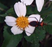 Insecto en una margarita Imagen de archivo libre de regalías