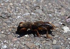 Insecto europeo del grillo de topo fotografía de archivo