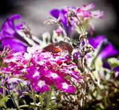 Insecto extraño, stellatarum de Macroglossum que alimenta en las flores Fotografía de archivo