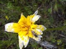 Insecto fadding a de la flor amarilla imagen de archivo libre de regalías
