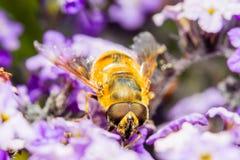 Insecto falso de la abeja Fotos de archivo
