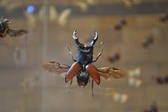 Insecto grande del escarabajo de macho en museo fotos de archivo libres de regalías