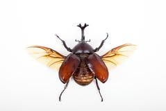 Insecto grande del escarabajo del cuerno aislado en blanco Fotografía de archivo
