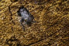 Insecto grande el escarabajo de corteza Imagenes de archivo