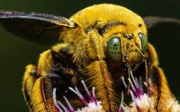 Insecto grande hermoso de la abeja en Malasia Foto de archivo
