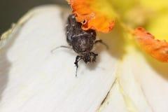 Insecto hermoso en la foto de la macro de la flor Fotografía de archivo